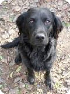 Setter (Unknown Type)/Spaniel (Unknown Type) Mix Dog for adoption in Memphis, Tennessee - Stone