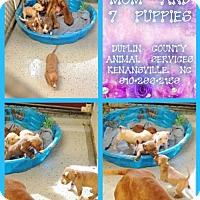 Adopt A Pet :: Bruno (Puppy) - Morganville, NJ