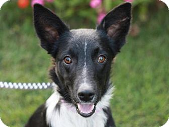 Border Collie/Sheltie, Shetland Sheepdog Mix Dog for adoption in Nanuet, New York - Brennan