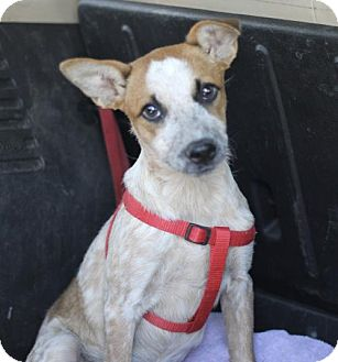 Cattle Dog Puppy for adoption in Phoenix, Arizona - Julie