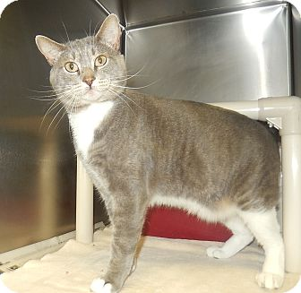 Domestic Shorthair Cat for adoption in Newport, North Carolina - Chatty