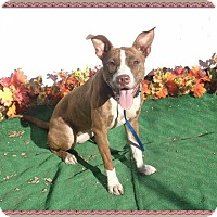 American Pit Bull Terrier Mix Dog for adoption in Marietta, Georgia - VIOLET-see video