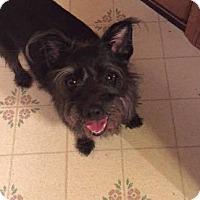 Schnauzer (Standard) Mix Dog for adoption in Nixa, Missouri - Bonnie #834