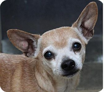 Chihuahua Mix Dog for adoption in Red Bluff, California - PETE
