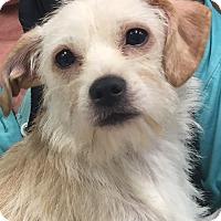 Adopt A Pet :: Annie - North Las Vegas, NV