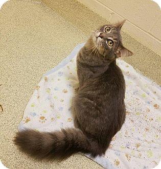 Domestic Mediumhair Cat for adoption in Windsor, Virginia - West