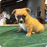 Adopt A Pet :: Rudy - Pleasanton, CA