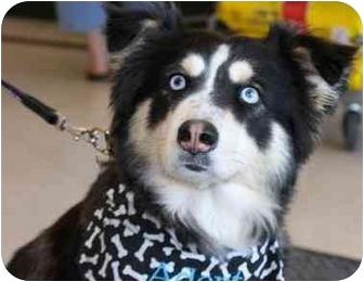 Tucky | Adopted Puppy | Gilbert, AZ | Border Collie ...