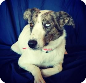 Australian Cattle Dog Mix Dog for adoption in Cheyenne, Wyoming - Kylee