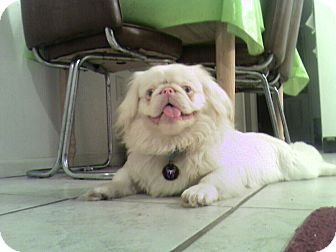 Ghost Prison Obedience Trained Adopted Dog Hazard Ky Pekingese