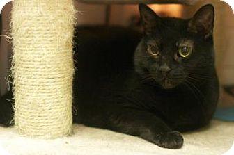 Domestic Shorthair Cat for adoption in New York, New York - Milan