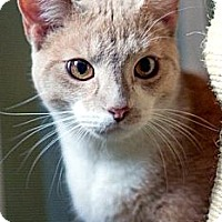 Adopt A Pet :: Tangie - Alexandria, VA