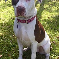 Pit Bull Terrier/American Bulldog Mix Dog for adoption in Churchville, New York - Molly