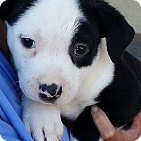 Adopt A Pet :: Pooh Bear - Gainesville, FL