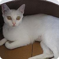 Domestic Shorthair Cat for adoption in Quail Valley, California - Monroe