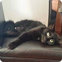 Domestic Mediumhair Cat for adoption in Los Angeles, California - Vespa