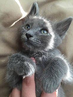 Domestic Longhair Cat for adoption in Everett, Washington - Ashton