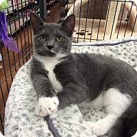 Domestic Shorthair Kitten for adoption in THORNHILL, Ontario - Penelope