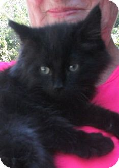 Maine Coon Kitten for adoption in Germantown, Maryland - Sherlock