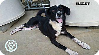 Labrador Retriever/Border Collie Mix Puppy for adoption in Kimberton, Pennsylvania - Hailey
