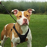 American Staffordshire Terrier Mix Dog for adoption in Shelby, Michigan - Paris