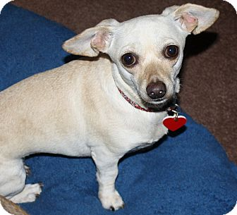 Dachshund/Chihuahua Mix Dog for adoption in Yorba Linda, California - Cookie - 8.8 lbs!