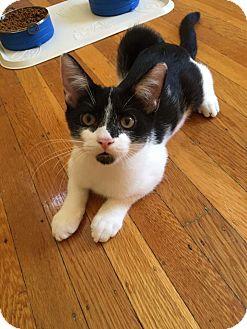 Domestic Shorthair Kitten for adoption in Bensalem, Pennsylvania - Diego