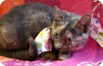 Domestic Shorthair Kitten for adoption in Voorhees, New Jersey - Zutrina