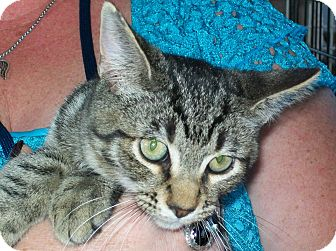 Domestic Shorthair Cat for adoption in Mexia, Texas - Aria