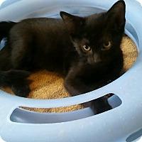 Adopt A Pet :: Tessa (pure Tonkinese) - Witter, AR