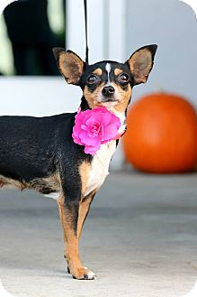 Miniature Pinscher Mix Dog for adoption in South El Monte, California - Lux