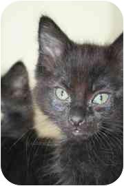Manx Kitten for adoption in tucson, Arizona - Skipper