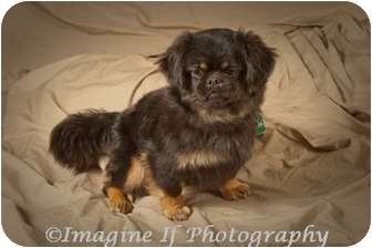 Pekingese/Tibetan Spaniel Mix Puppy for adoption in Hales Corners, Wisconsin - Chloe