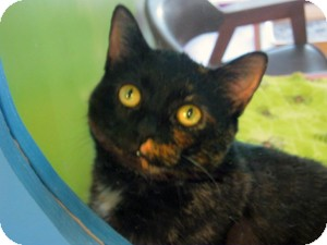 Domestic Shorthair Cat for adoption in Topeka, Kansas - Rhoda