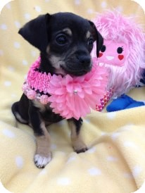 Dachshund/Chihuahua Mix Puppy for adoption in Brea, California - Ally