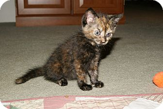 Domestic Shorthair Kitten for adoption in Trevose, Pennsylvania - Pogo