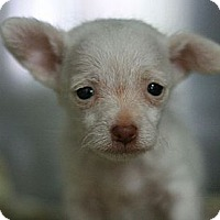 Adopt A Pet :: Bitsy - Canoga Park, CA