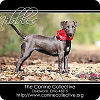 Adopt A Pet :: Nibbles - Delaware, OH