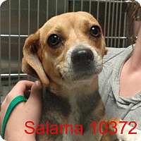 Adopt A Pet :: Salama - baltimore, MD