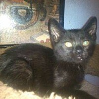 Domestic Mediumhair Cat for adoption in San Bernardino, California - Trixie