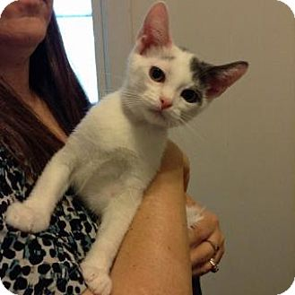 Domestic Shorthair Cat for adoption in Fitchburg, Wisconsin - Cisco