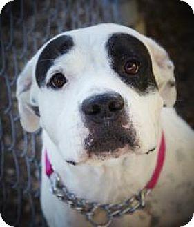 Bulldog Mix Dog for adoption in Fort Myers, Florida - Sugar