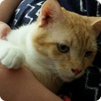 Adopt A Pet :: Little Buddy - Richmond, VA