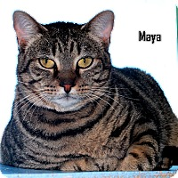 Adopt A Pet :: Maya - Arkadelphia, AR