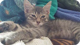 Domestic Shorthair Kitten for adoption in Denver, Colorado - Hoonigan