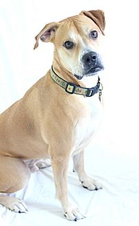 Boxer/Labrador Retriever Mix Dog for adoption in Bradenton, Florida - Teddy