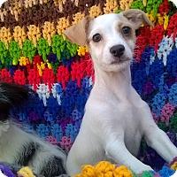 Adopt A Pet :: Scruff tan and white - El Cajon, CA