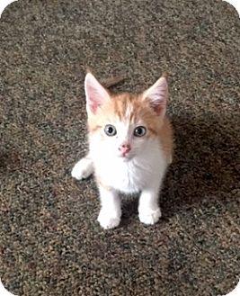 Domestic Shorthair Kitten for adoption in Philadelphia, Pennsylvania - Balor