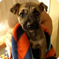 Beagle/Pug Mix Puppy for adoption in HARRISBURG, Pennsylvania - TALIE