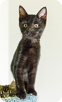Domestic Shorthair Cat for adoption in St. Louis, Missouri - Wickham